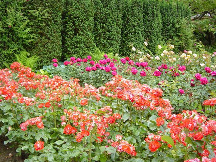 12-roses (700x525, 122Kb)