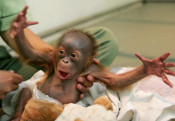 3979564_gal_baby_orangutan (575x398, 40Kb)