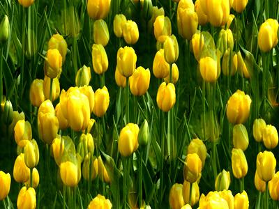 tulips-yellow2 (400x300, 32Kb)