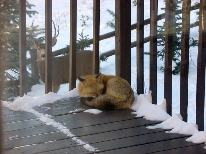 лисичка спит (700x525, 86Kb)