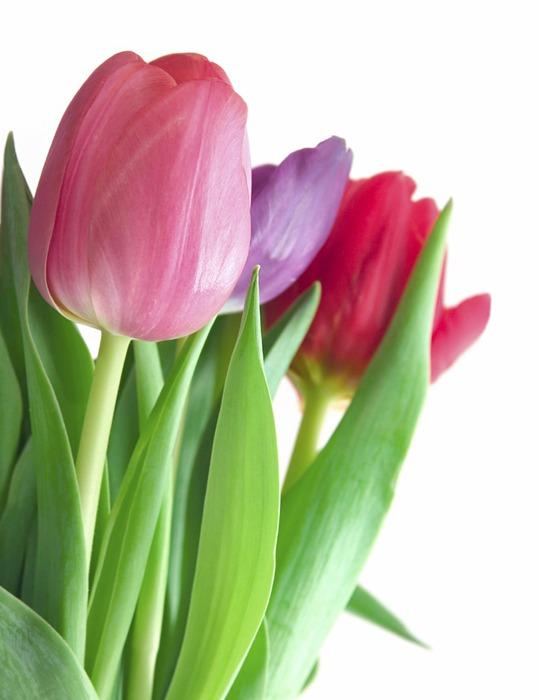 тюльпан1 (539x700, 58Kb)