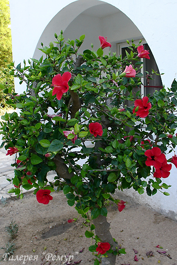 цветы гибискус фото: