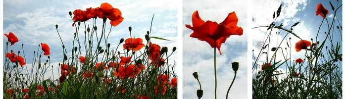 poppies (700x200, 107Kb)