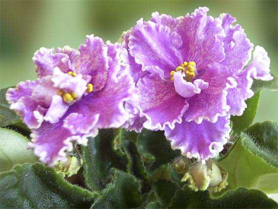 violet-senpolii5 (567x425, 38Kb)