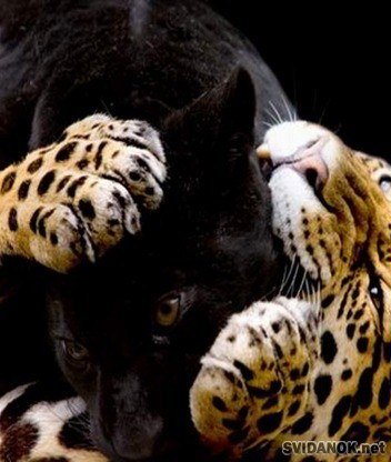 тигр и пантера вместе. Смотрите также ...: pictureslur.ru/semya_klipart_21391.html