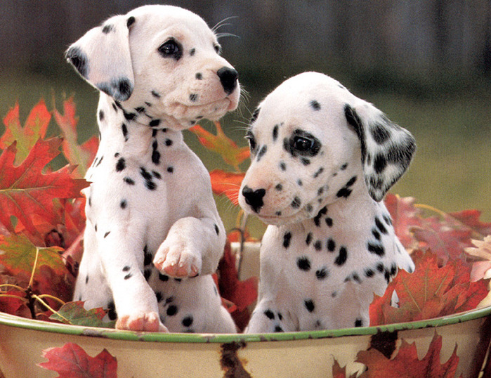 dalmatian-puppies-cute-dogs (700x538, 175Kb)