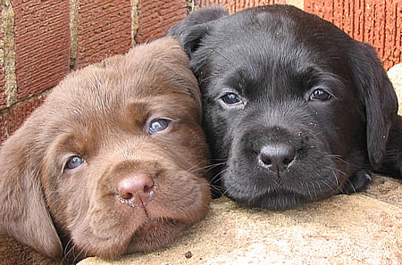 puppies (450x297, 46Kb)