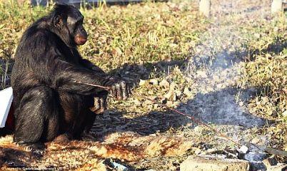 Шимпанзе 1 (402x240, 39Kb)