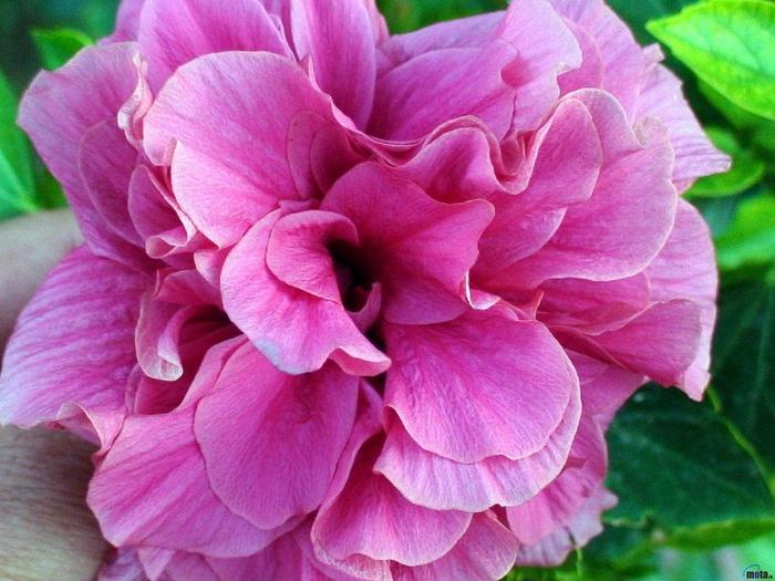 flowers_436 (700x525, 312Kb)
