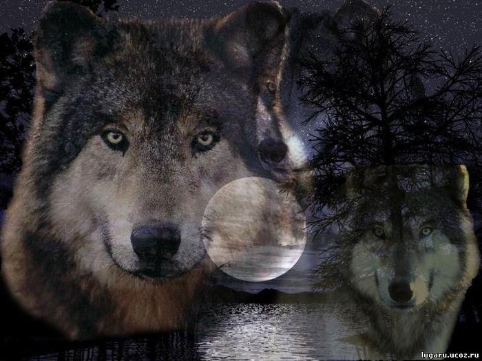волки (700x525, 67Kb)