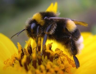 пчела (406x313, 29Kb)