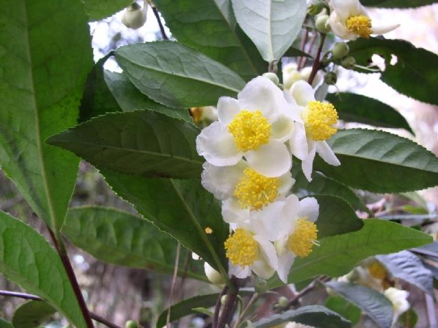 Tea Plant PC260087 (640x479, 226Kb)