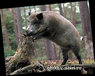 Охота на кабана (320x257, 45Kb)