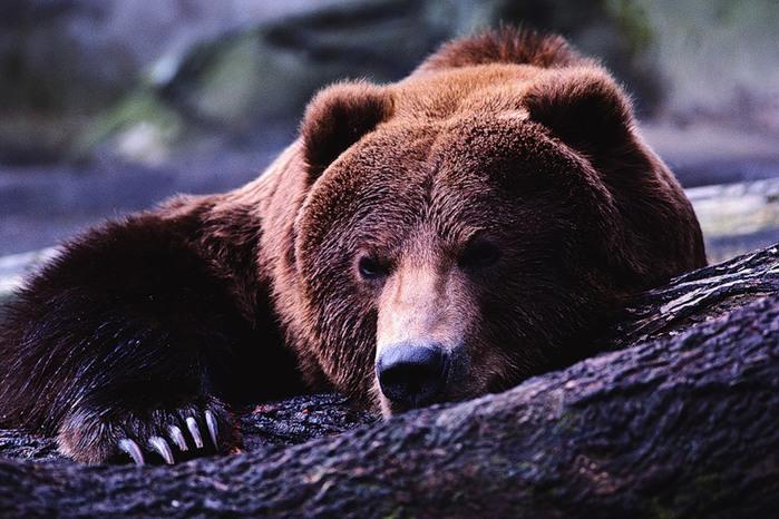 А, особенно, весной.  А вот, и следы медведей.  Браво ФОТООХОТНИКАМ, которые осмеливаются снимать жизнь животных!