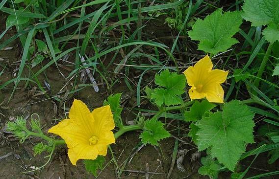 leo-mic-Cucumis-sativus-1183 (569x366, 56Kb)