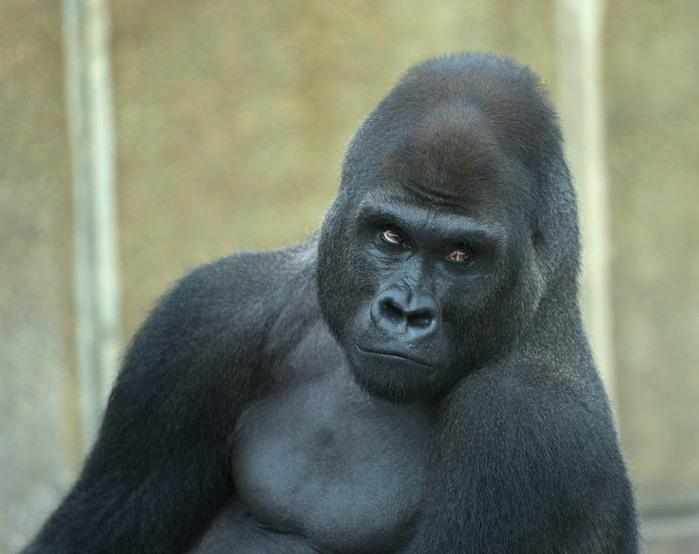 Секс человека с гориллой смотреть 21 фотография