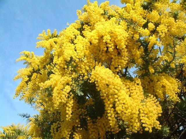 mimoza (640x480, 107Kb)
