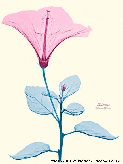 цветы фото/4800467_1330502215_xray3 (427x570, 73Kb)