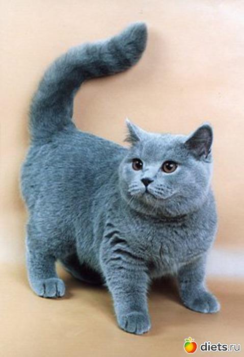 Кошки британской породы фото photo find ru