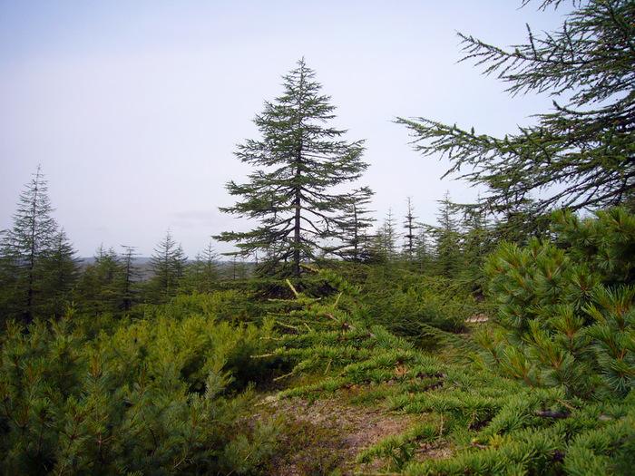 На прибрежной сопке представлены основные деревообразующие породы Охотского побережья: лиственница и кедровый стланик./4316166_0_624a5_7c18a4d8_orig (700x525, 208Kb)