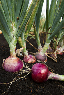 220px-ARS_red_onion (220x324, 29Kb)