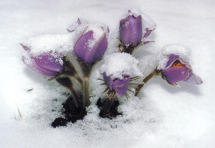 Подснежник - образ счастья и мечты.  Мир светлой радости и красоты.  Тепло любви, доверия и нежность.