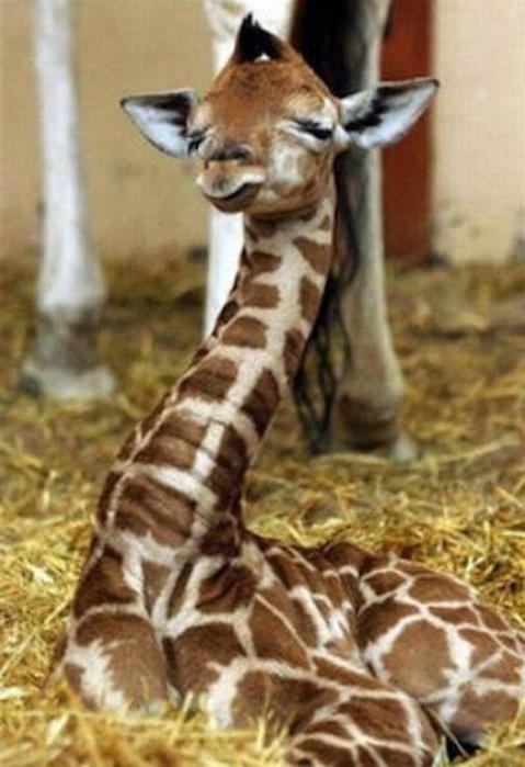 Очаровательные маленькие жирафы. Фото 02 (479x700, 46Kb)