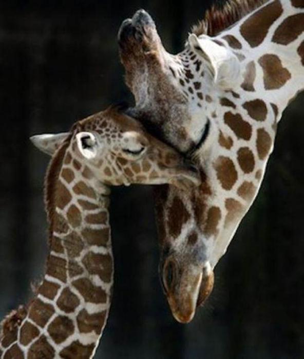 Очаровательные маленькие жирафы. Фото 06 (592x700, 43Kb)
