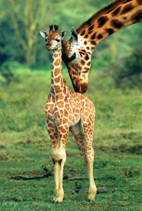 Очаровательные маленькие жирафы. Фото 08 (469x700, 51Kb)