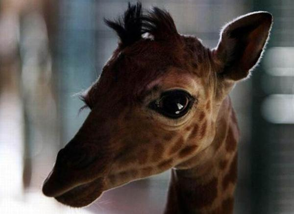 Очаровательные маленькие жирафы. Фото 12 (600x437, 25Kb)