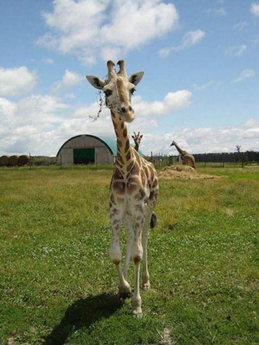 Очаровательные маленькие жирафы. Фото 16 (525x700, 57Kb)