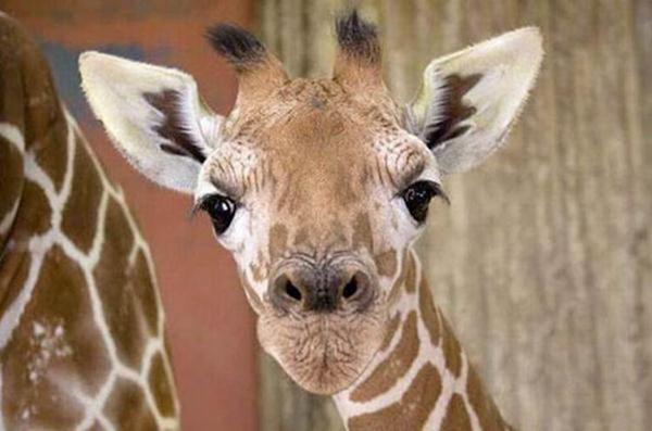 Очаровательные маленькие жирафы. Фото 26 (600x397, 32Kb)