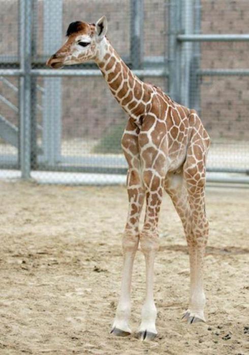 Очаровательные маленькие жирафы. Фото 28 (490x700, 51Kb)