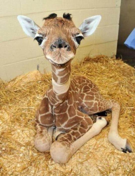 Очаровательные маленькие жирафы. Фото 30 (537x700, 56Kb)