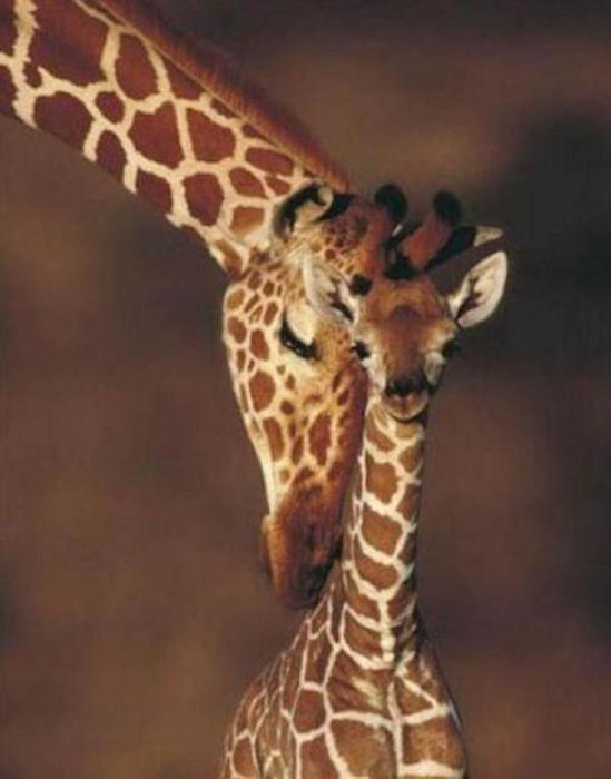 Очаровательные маленькие жирафы. Фото 36 (549x700, 32Kb)