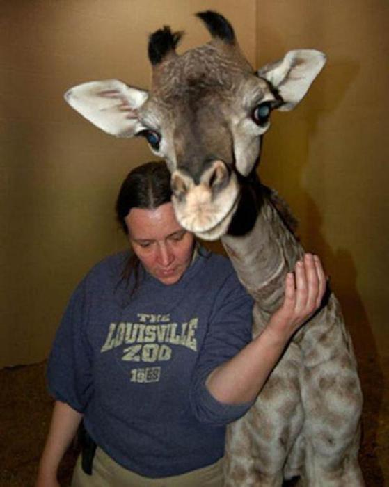 Очаровательные маленькие жирафы. Фото 38 (559x700, 37Kb)