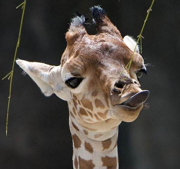 Очаровательные маленькие жирафы. Фото 40 (600x564, 40Kb)