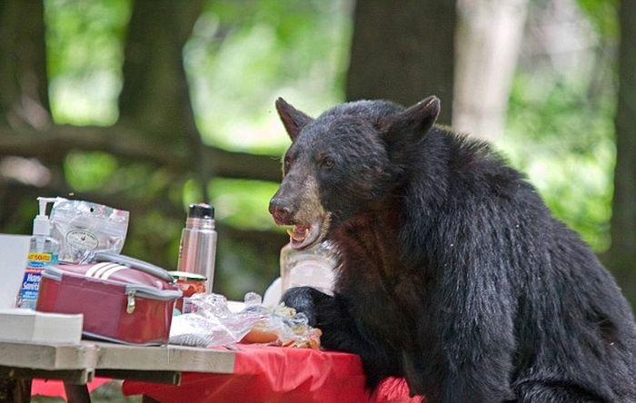 bear_gatecrashes_01 (700x444, 52Kb)