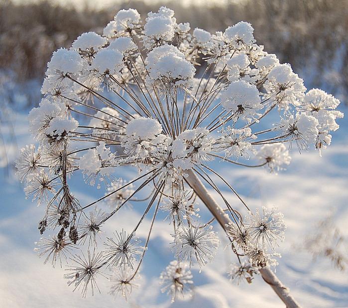 снежные цветы (700x618, 210Kb)