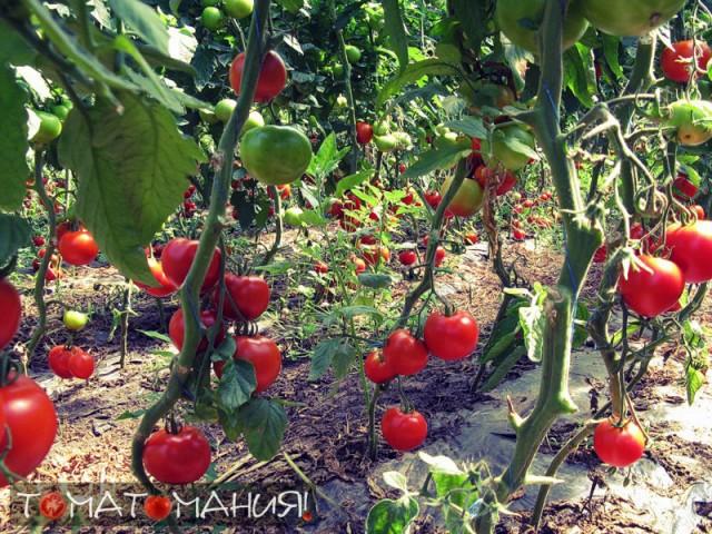 pomidory-rastut--640x480 (640x480, 152Kb)
