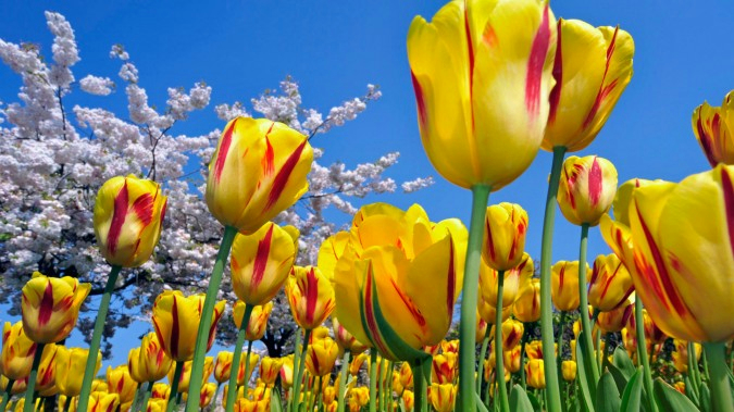 yellow_red_tulips_1920x1080-675x379[1] (675x379, 355Kb)