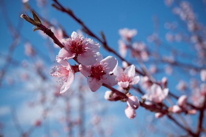 персик цветет/3646178_DSC_0001 (700x466, 223Kb)
