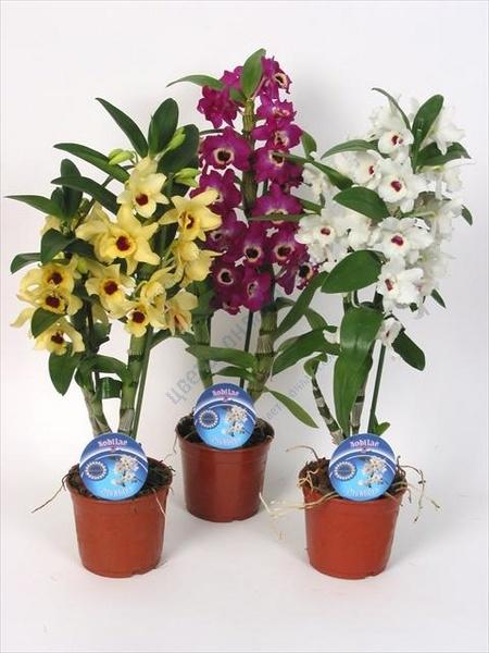 орхидея дендробиум (450x600, 169Kb)