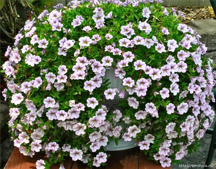 4979645_Calibrachoa_05_1 (700x546, 371Kb)