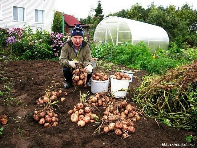 посадили мы картошку
