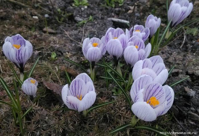 весенние первоцветы (1) (700x476, 308Kb)
