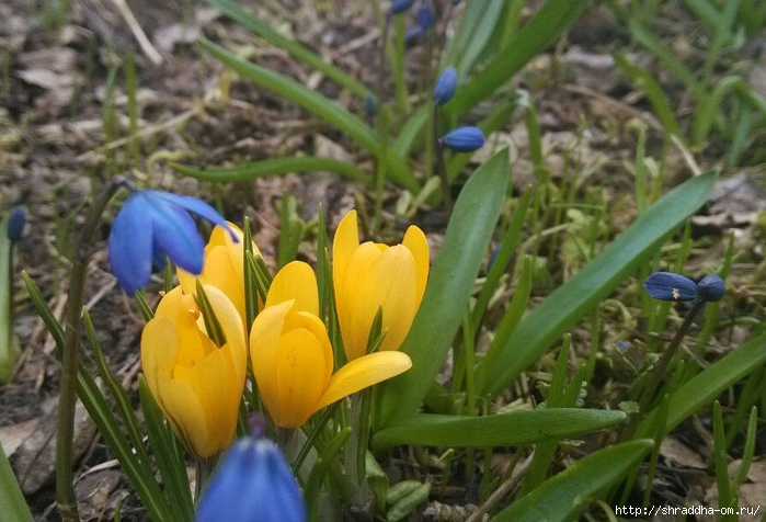 весенние первоцветы (3) (700x476, 268Kb)