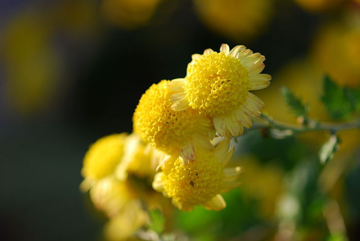 chrysanthemum8 (700x469, 33Kb)