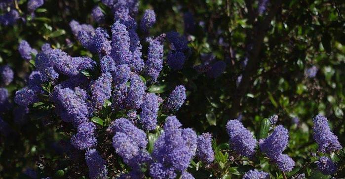 ceanothus-lt-blue (700x362, 57Kb)