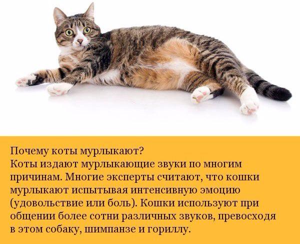 Малоизвестные факты о кошках6 (600x487, 270Kb)